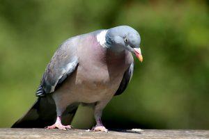 pigeon, birds, animals-5083013.jpg